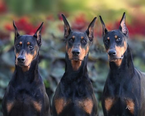 Choosing a Breeder